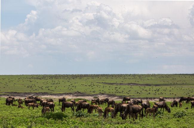 Kogatende Serengeti